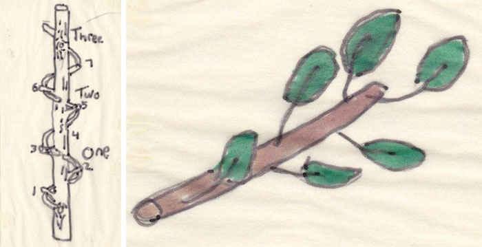 Листья на ветках деревьев располагаются в виде повторяющейся спирали
