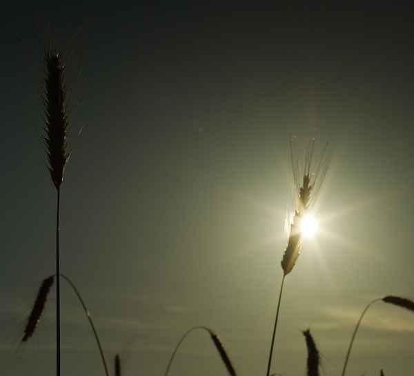 Энергетические сельхозкультуры